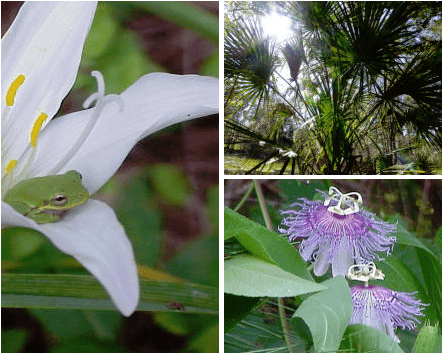 Home page graphic of green tree frog in lily, passion flower, cabbage palm