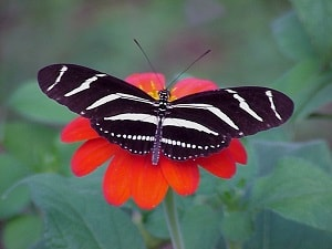 zebra longwing butterfly on Mexican sunflower