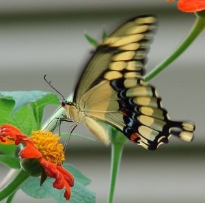 Giant swallowtail butterfly nectaring on Mexican petunia