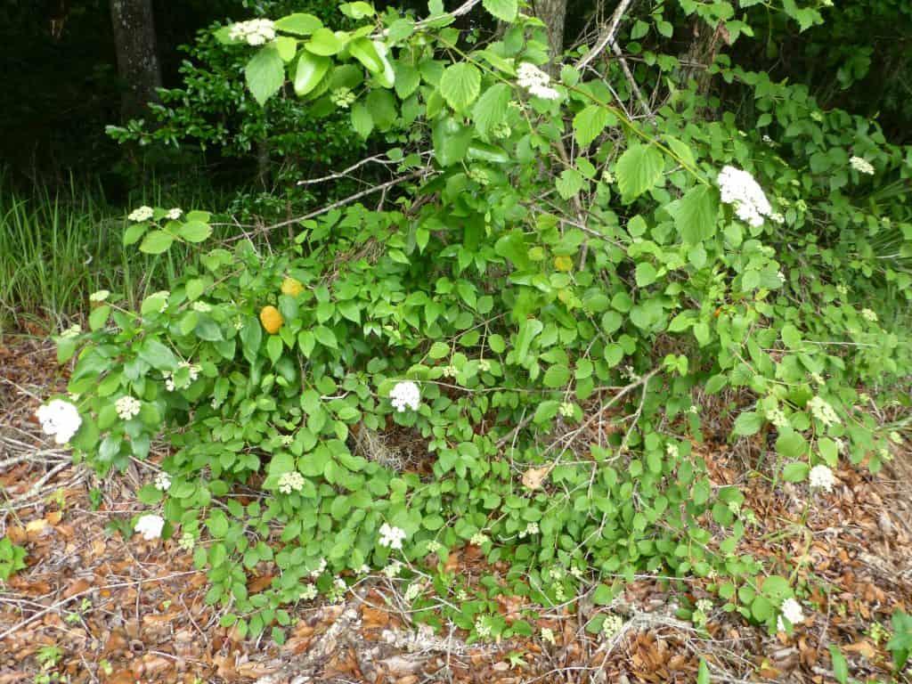 arrowwood (Viburnum dentatum) in the landscape