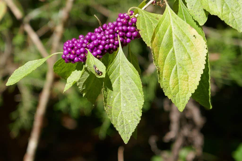 ripe beautyberry berries (Callicarpa americana)