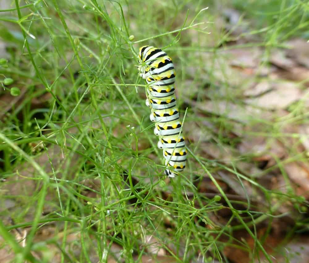 a black swallowtail caterpillar eating marsh parsley leaves