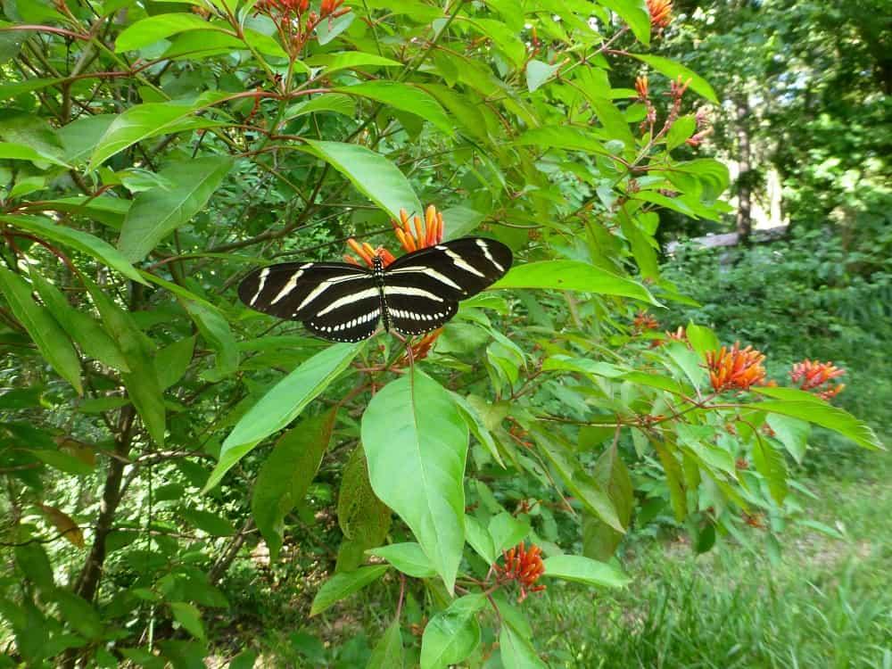 Garden Bush: Sharons Florida