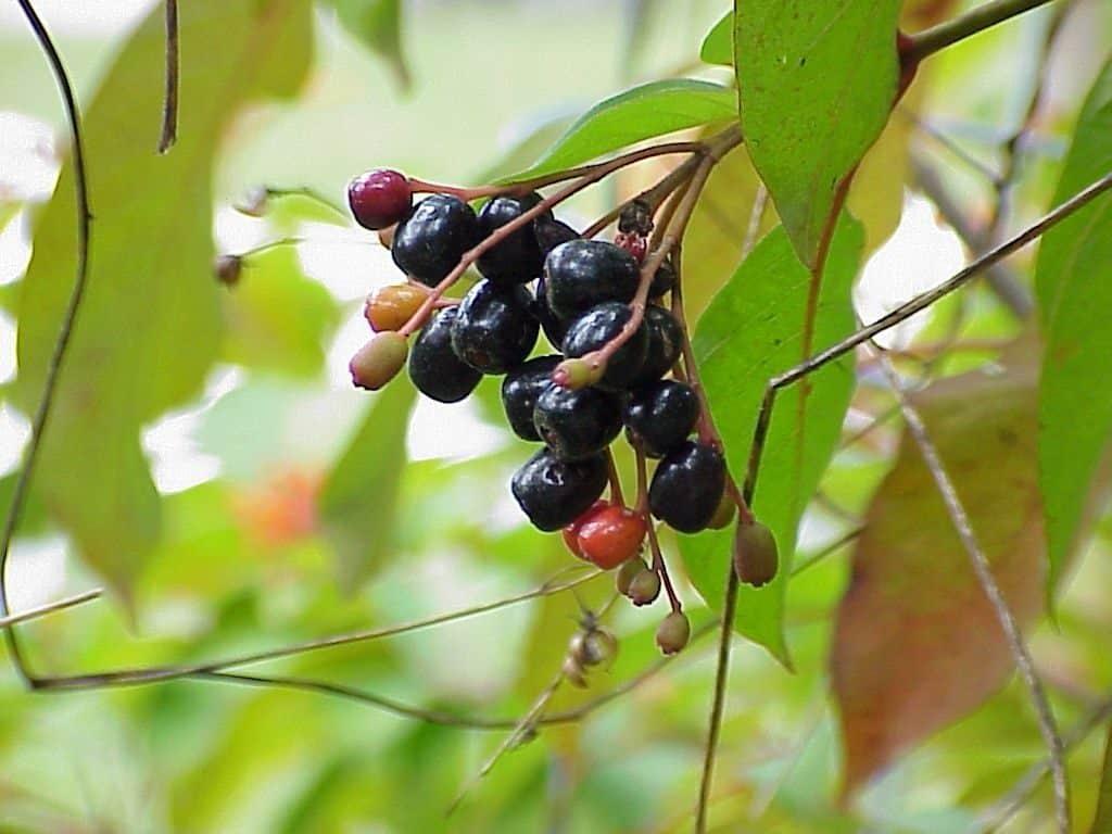 firebush fruit (Hamelia patens)