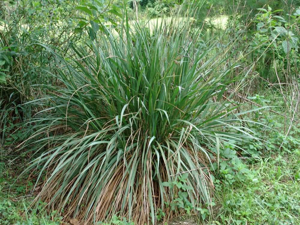 eastern gamagrass (Tripsacum dactyloides)