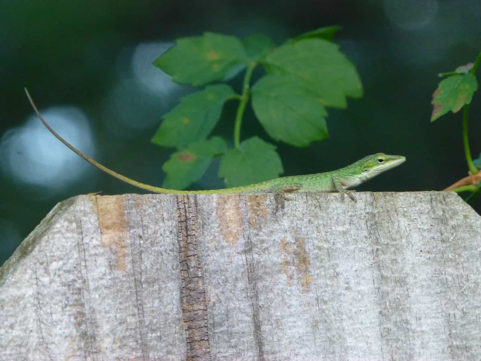 florida native green anole hunting on fence