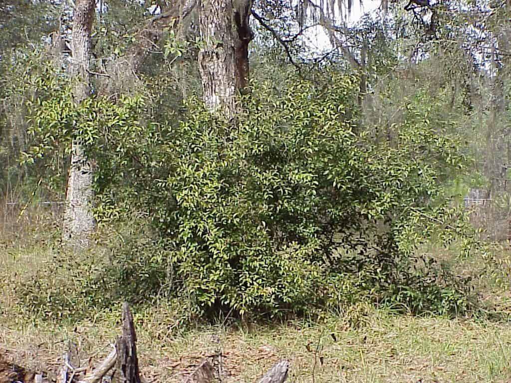 tallow wood, Ximenia americana, growing in a forest