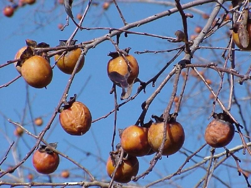 common persimmon (Diospyros virginiana) ripe fruit on the tree