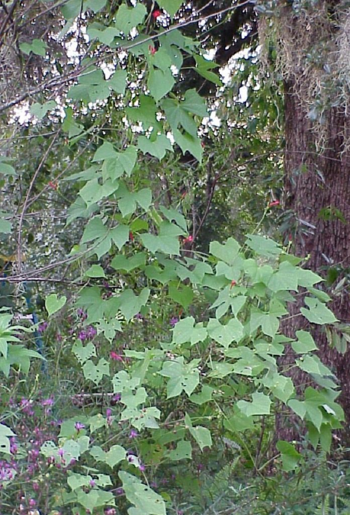 scarlet morning glory (Ipomoea hederifolia)