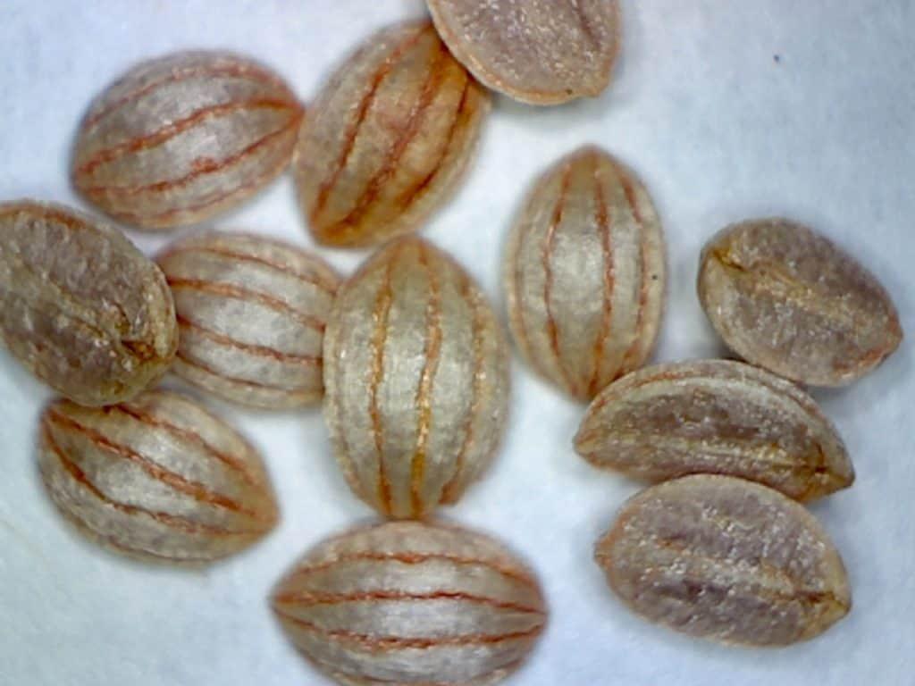 shortleaf wild coffee seeds (Psychotria sulzneri)