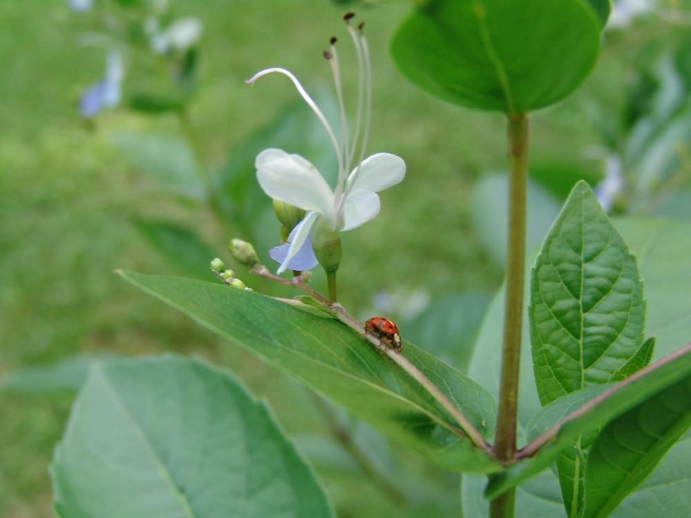 ladybug beetle on a flower stalk