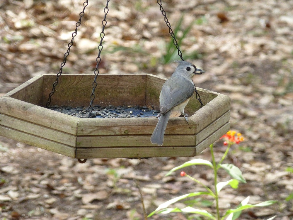 tufted titmouse (Paus bicolor) eating a sunflower seed