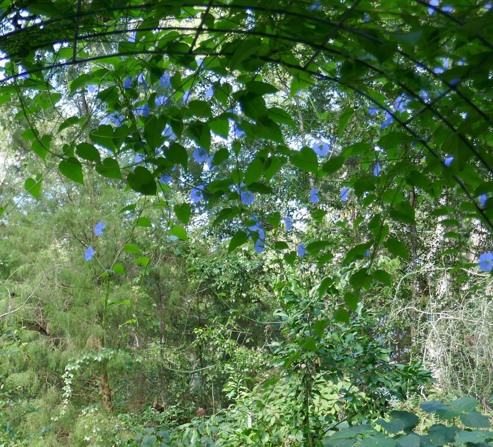 skyblue clustervine (Jacquemontia pentanthos) growing on a trellis