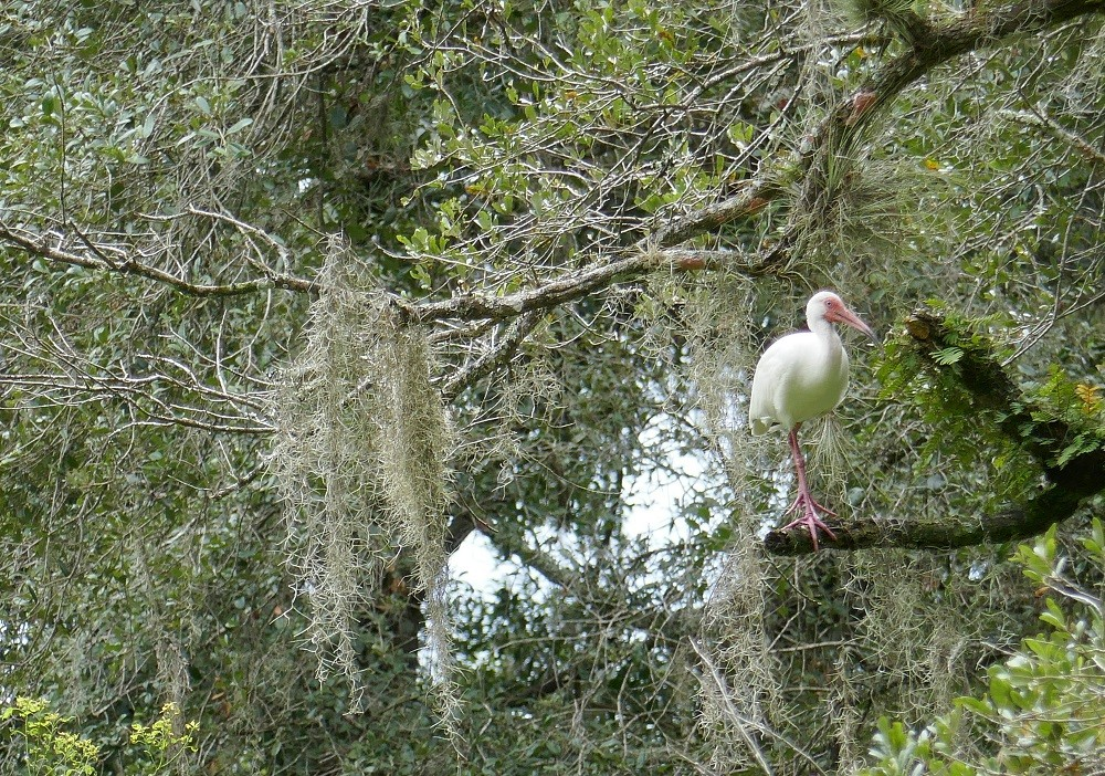 Spanish moss hanging in a live oak tree with a white ibis bird perched on the branch