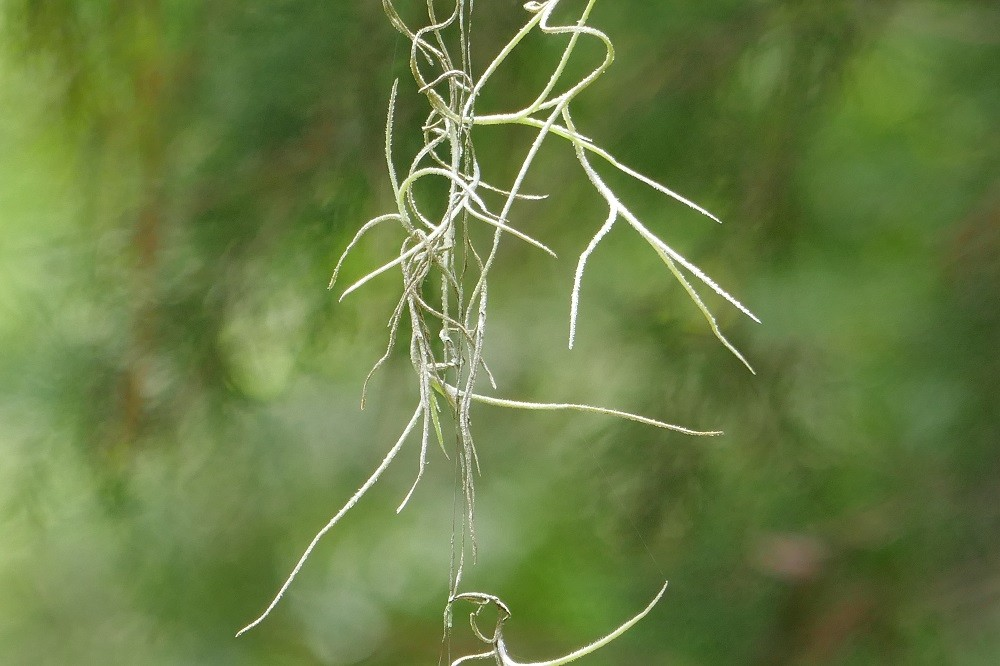 a close up picture of spanish moss (