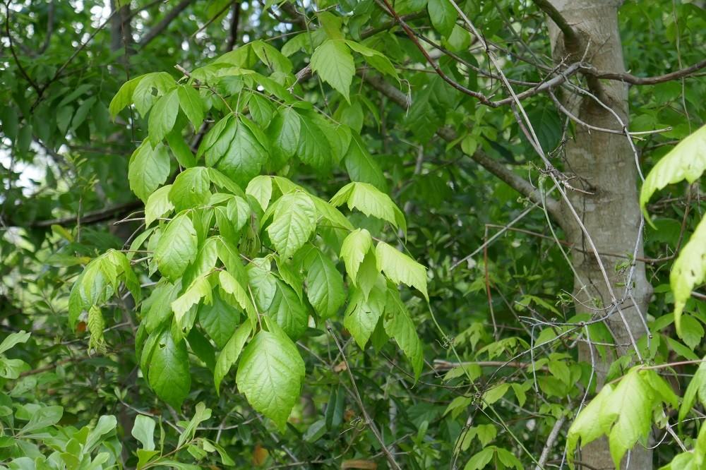 leaves of the box elder tree, Acer negundo
