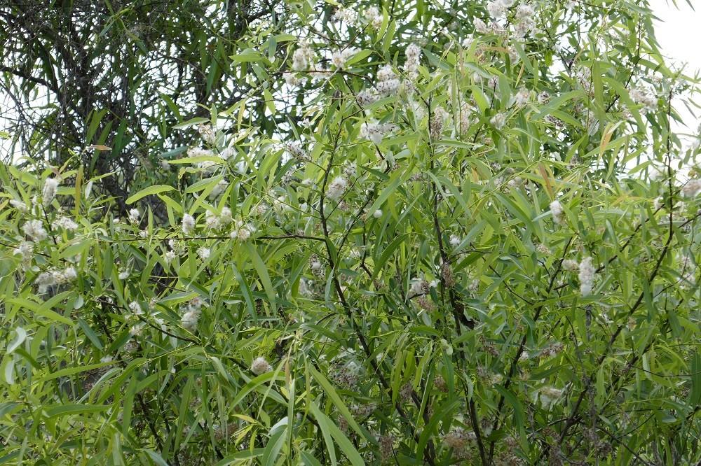 Salix caroliniana (Coastal Plain Willow)