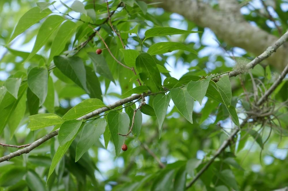 Celtis laevigata (Hackberry tree) leaves and fruit