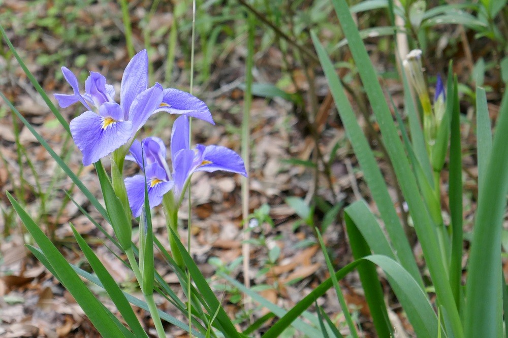 Iris virginica (Southern Blue Flag)