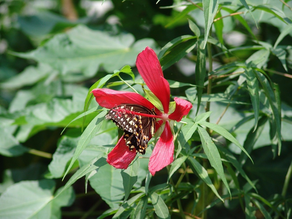 scarlet hibiscus flower and palamedes swallowtail butterfly