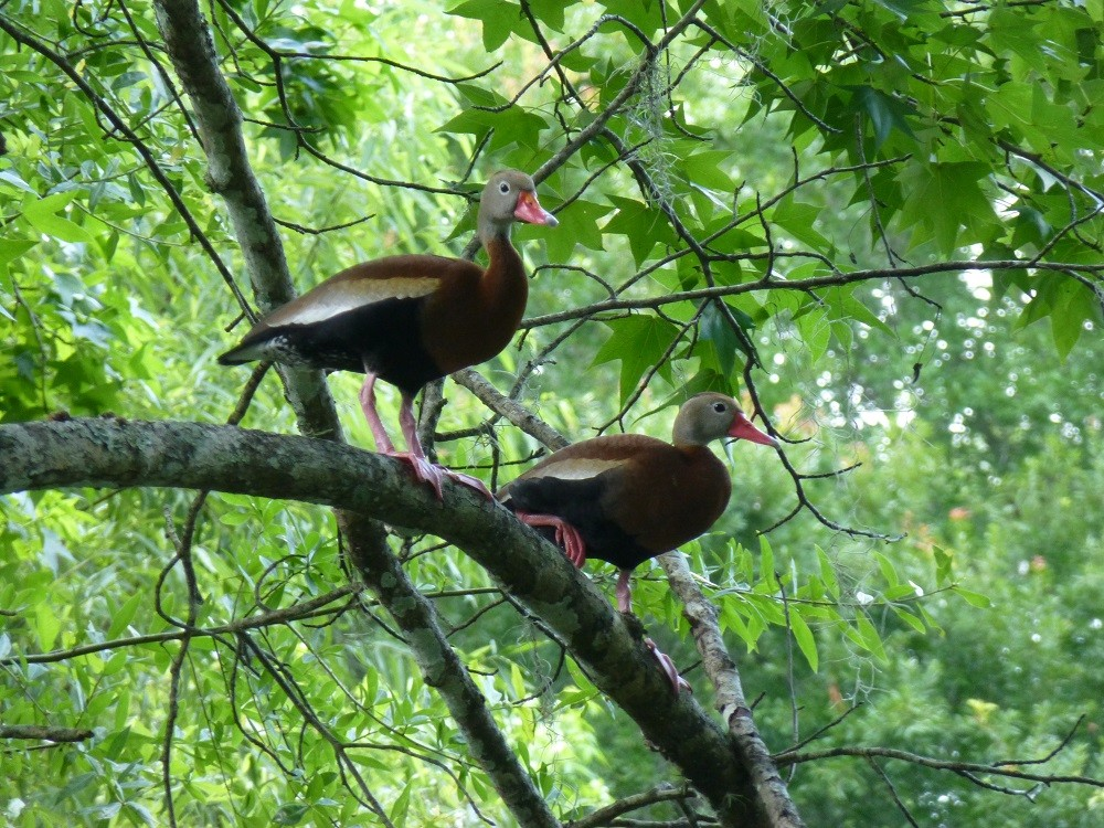 Black-bellied whistling-ducks (Dendrocygna autumnalis) perched in a live oak tree