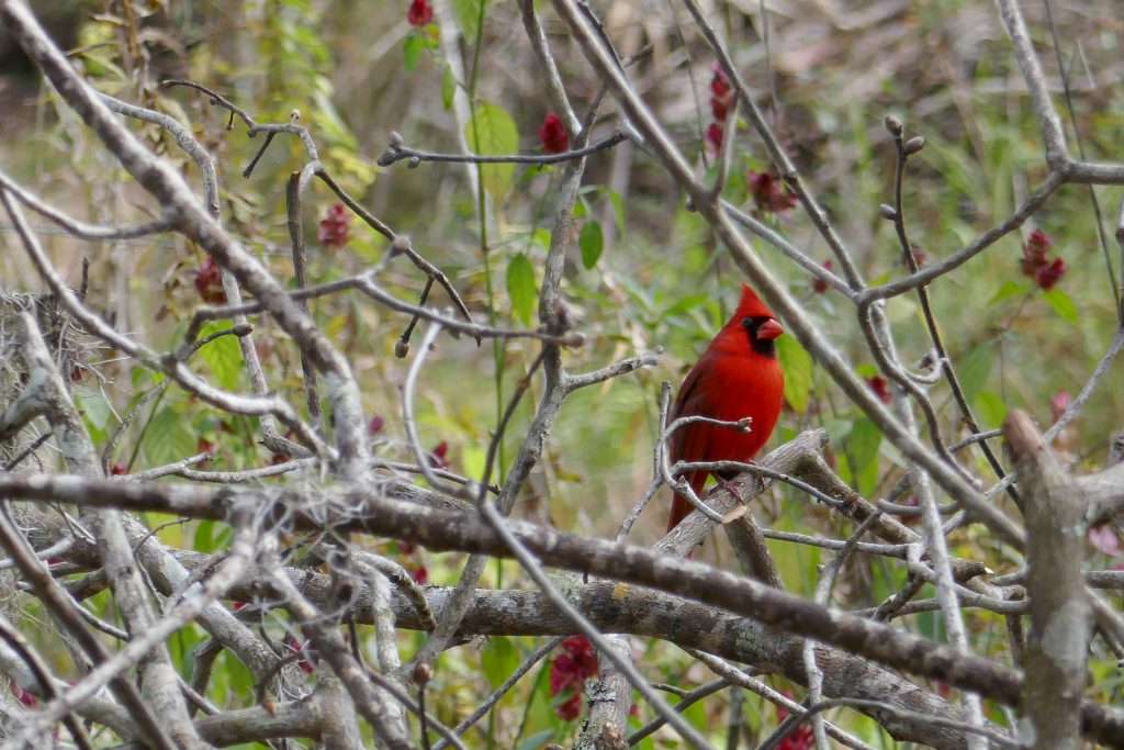 northern red cardinal bird perched in a leafless tree