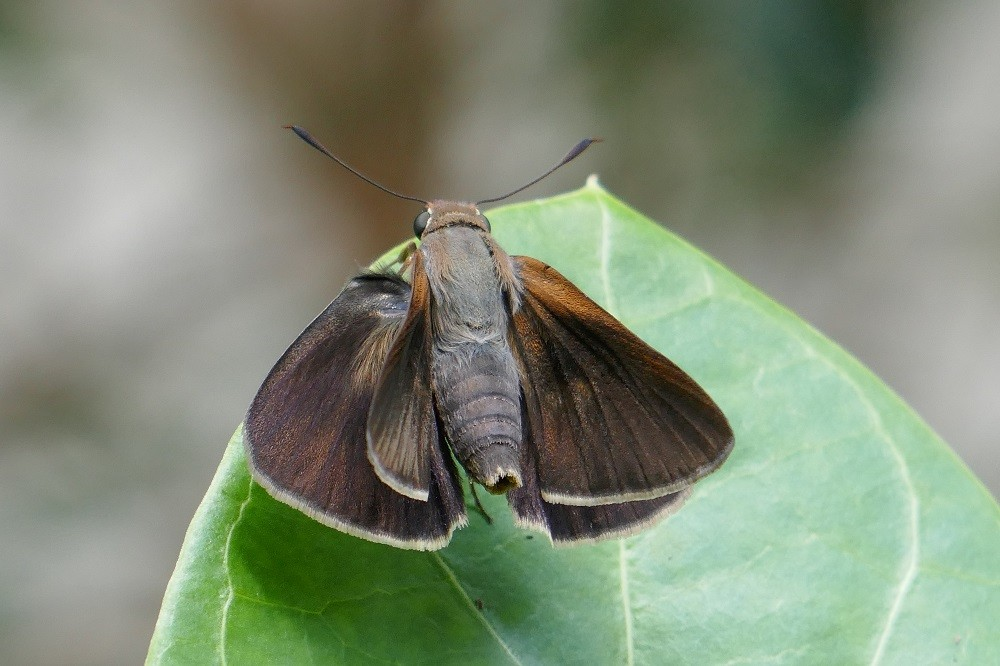 swarthy skipper butterfly sitting on a leaf with its wings open