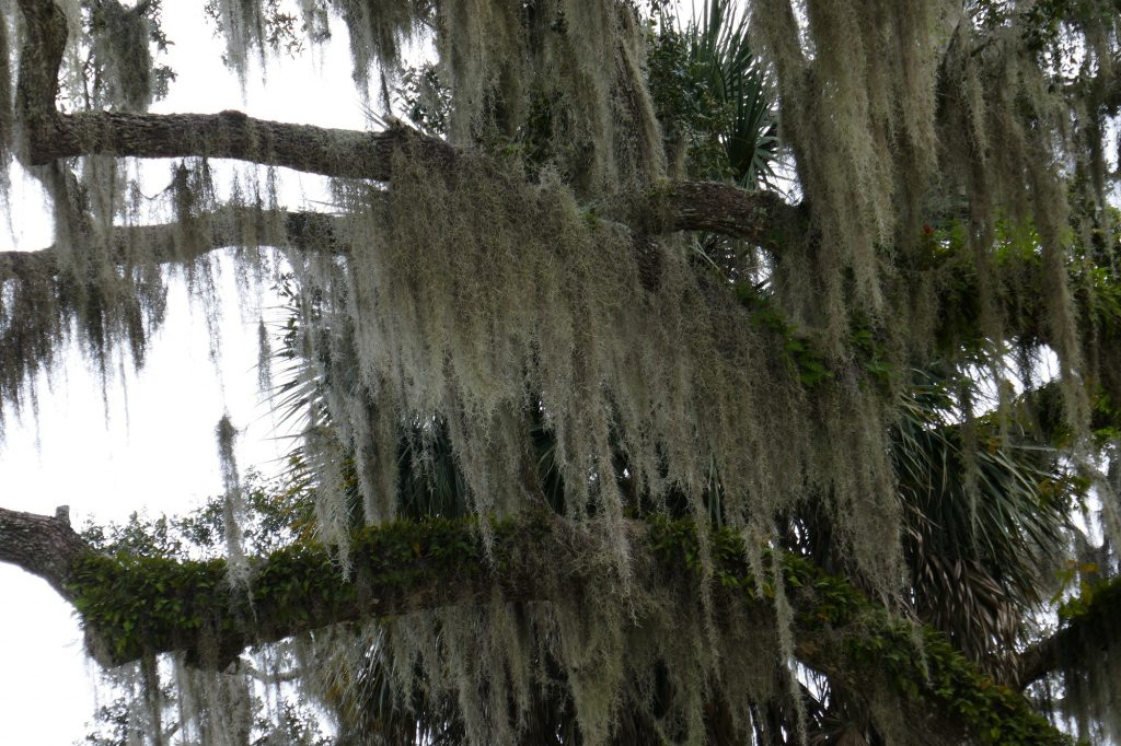 Spanish moss (Tillandsia usneoides) hanging from a live oak tree
