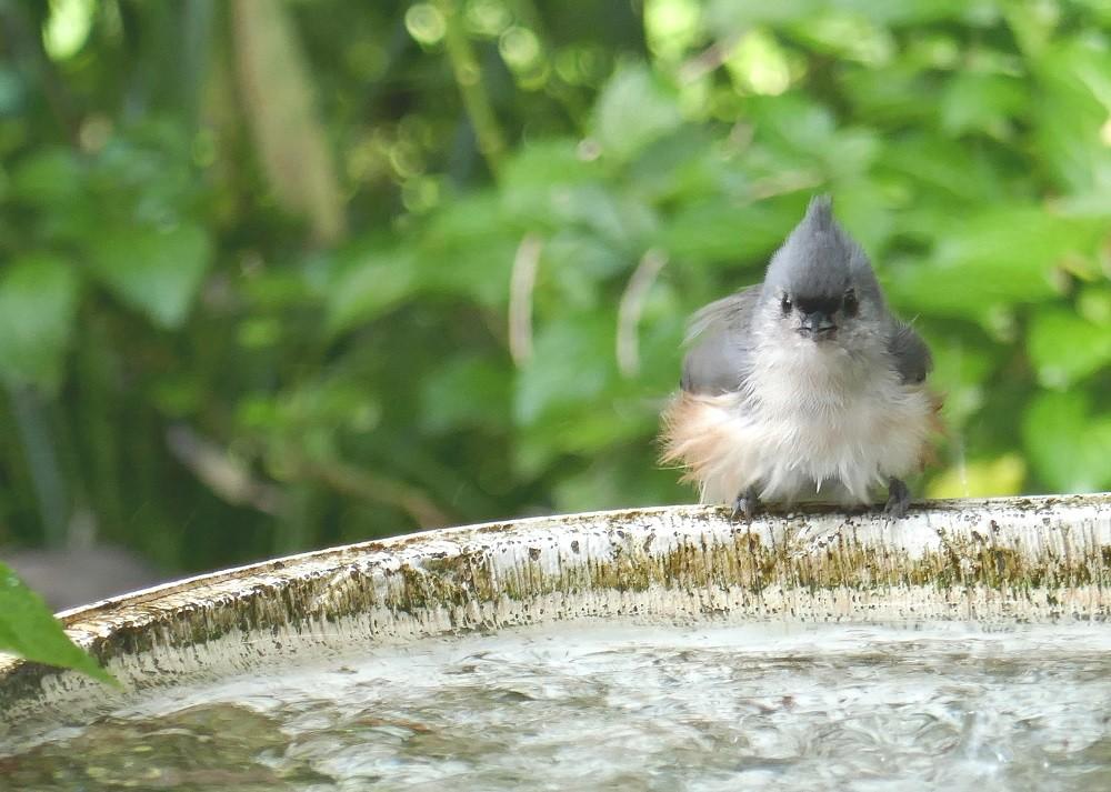 tufted titmouse (Paus bicolor) sitting on birdbath edge