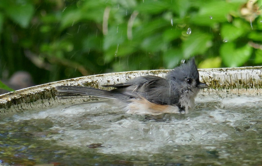 tufted titmouse (Paus bicolor) in a birdbath