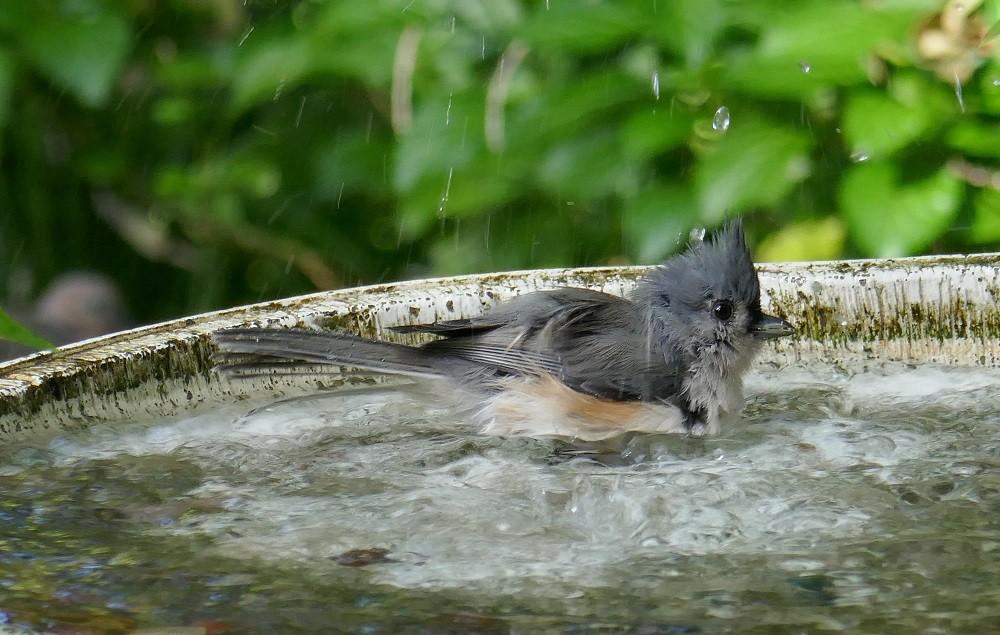 tufted titmouse (Paus bicolor) in a birdbath