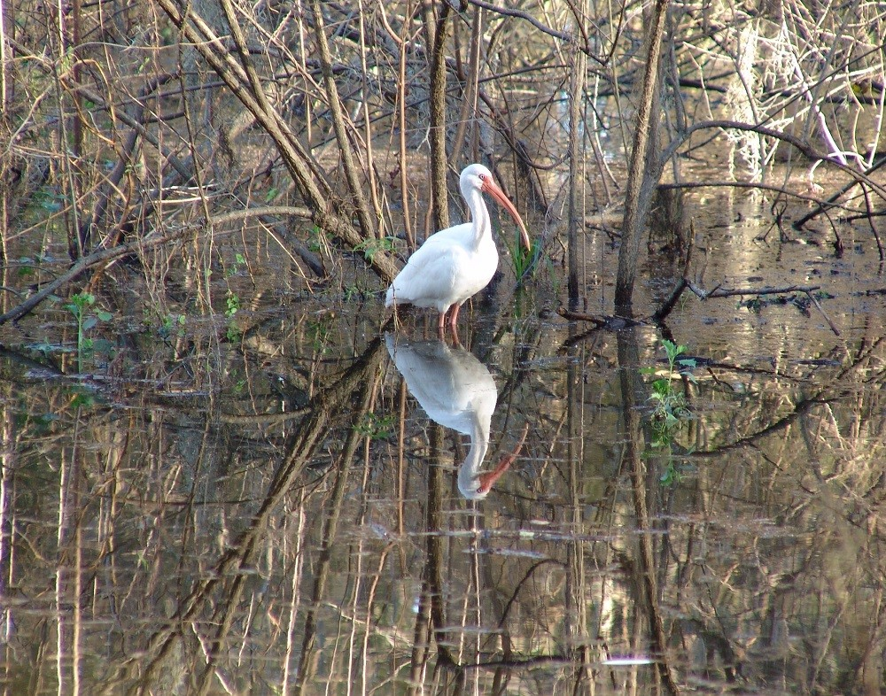 White ibis (Eudocimus albus) standing in a pond