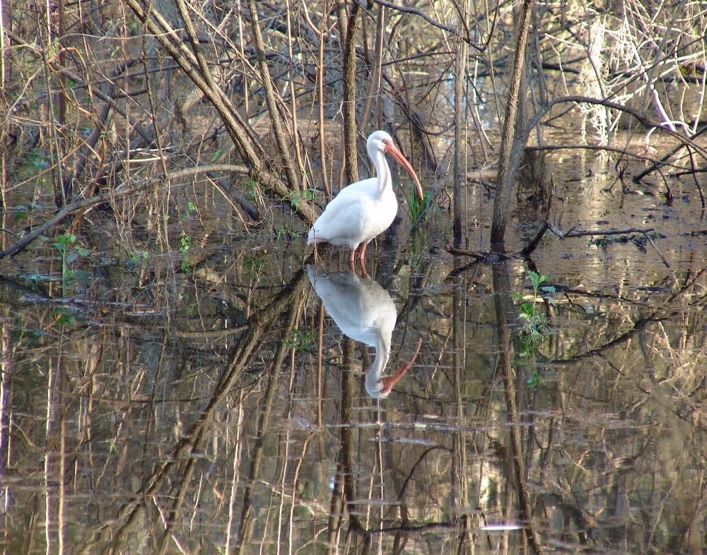 White ibis (Eudocimus albus) standing in a pond