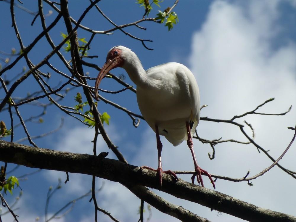 White ibis (Eudocimus albus) perched on a tree limb