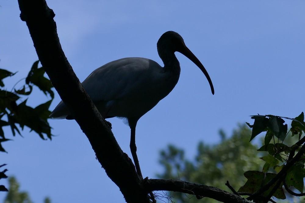 White ibis (Eudocimus albus) silhouette