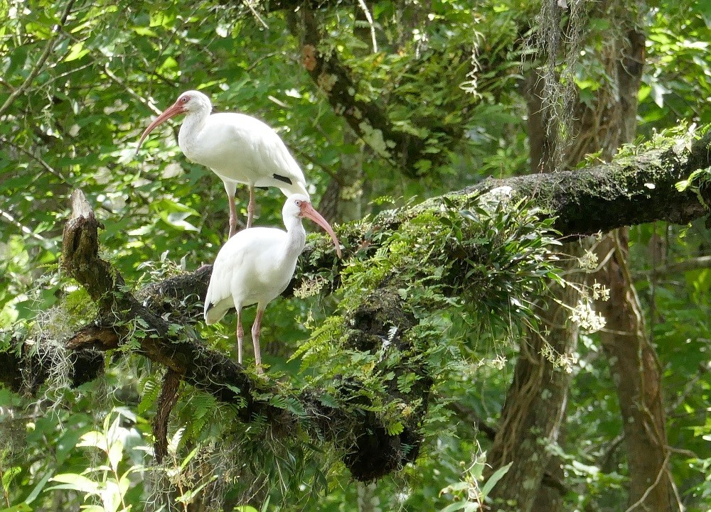 White ibises (Eudocimus albus) perched on a live oak limb with green fly orchids