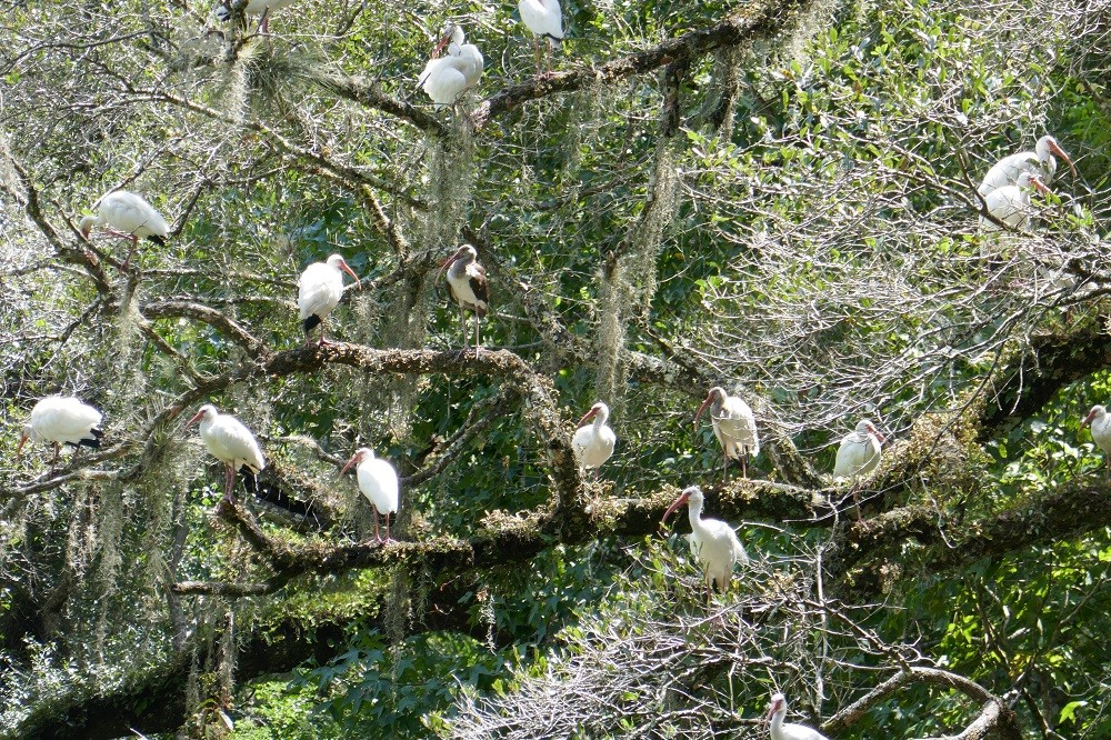 a flock of white ibises (Eudocimus albus) roosting in a live oak tree