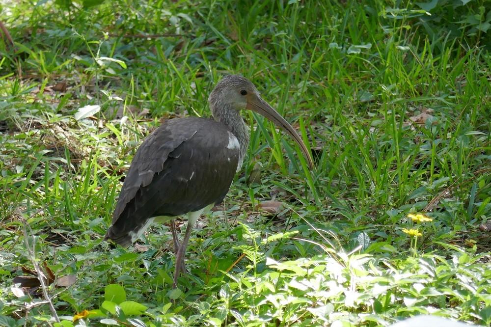 a juvenile white ibis (Eudocimus albus)