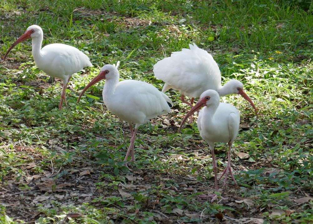 white ibises (Eudocimus albus) walking through a lawn looking for food