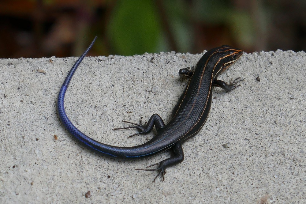 five-lined skink (Plestiodon fasciatus) resting on a sidewalk