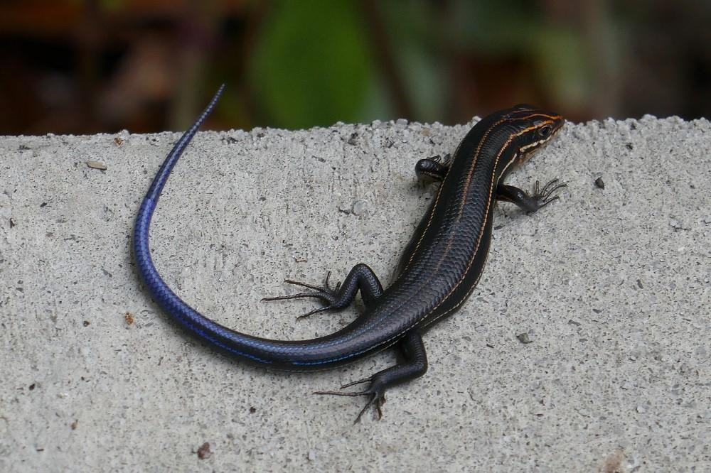 five-lined skink (Plestiodon fasciatus) resting on a sidewalk
