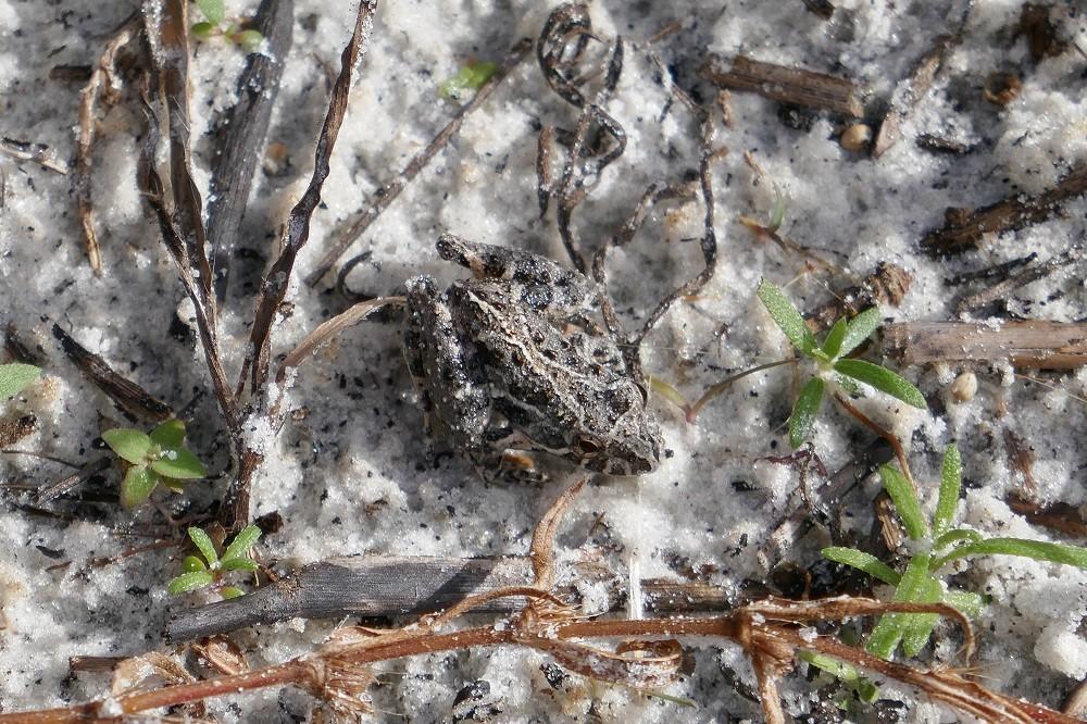 Florida cricket frog (Acris gryllus dorsalis)