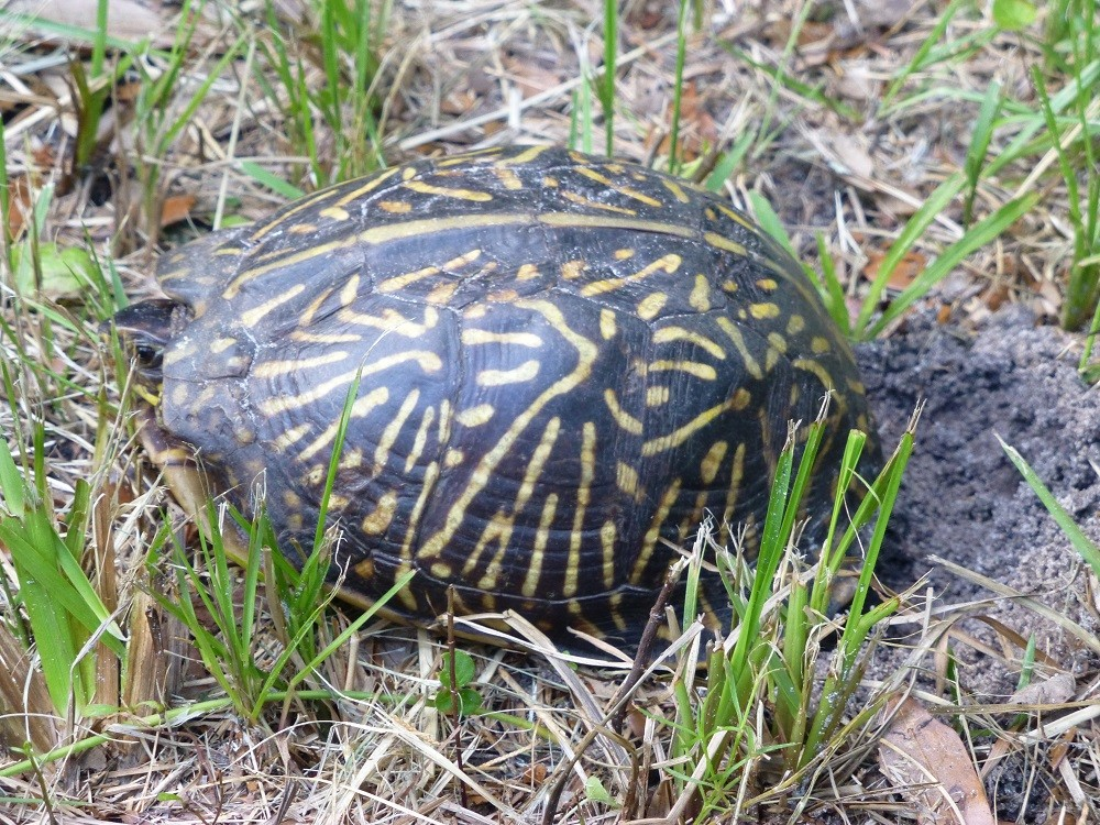 Florida box turtle (Terrapene carolina bauri) laying eggs in a lawn