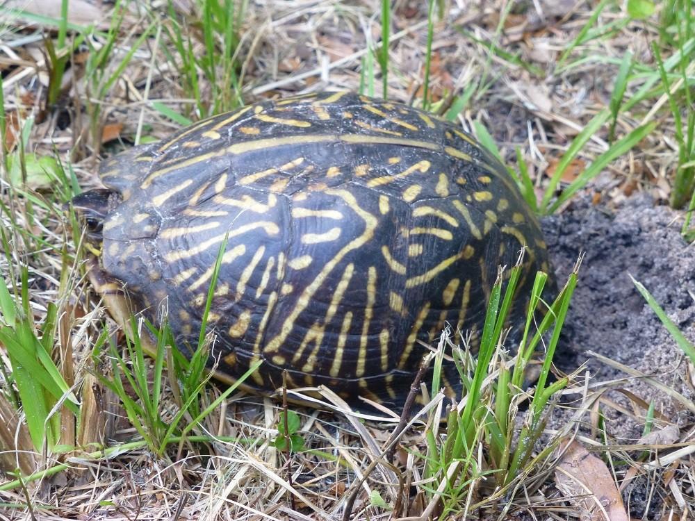 Florida box turtle (Terrapene carolina bauri) laying eggs in a lawn