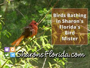 a northern cardinal bathing in the mist of sharons florida bird mister