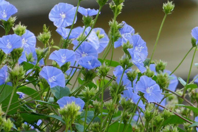 Skyblue clustervine (Jacquemontia pentanthos) flowers
