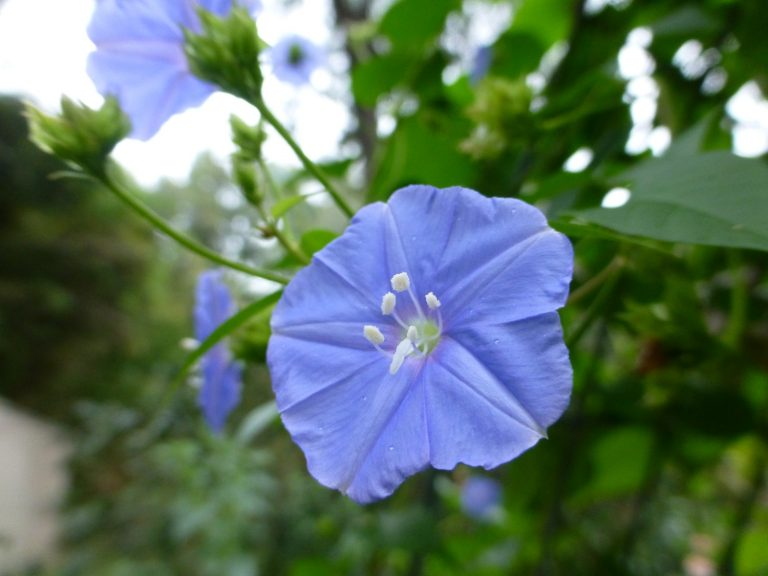Skyblue Clustervine (Jacquemontia pentanthos) single flower