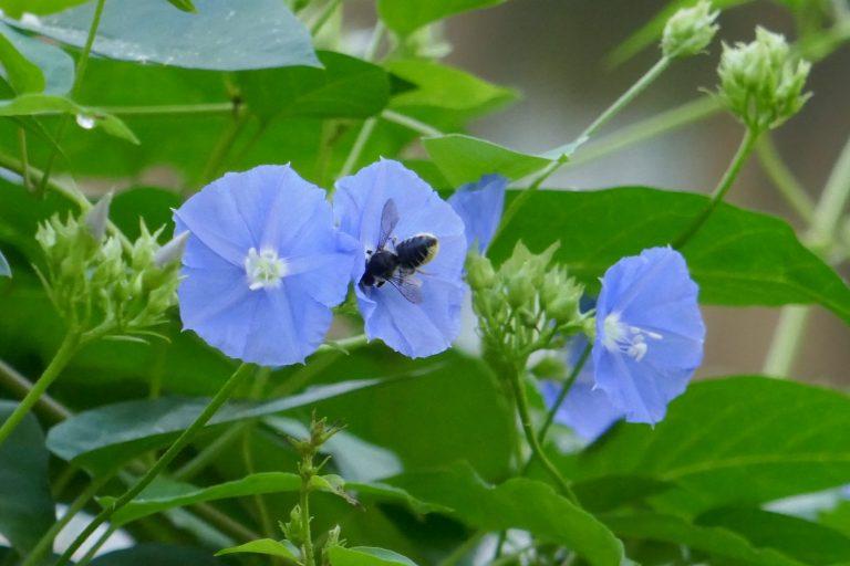 Skyblue clustervine (Jacquemontia pentanthos) flower and leaf cutter bee