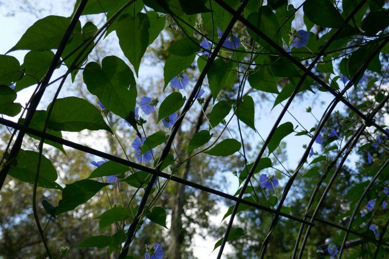 Skyblue clustervine (Jacquemontia pentanthos) view of the vine through a trellis