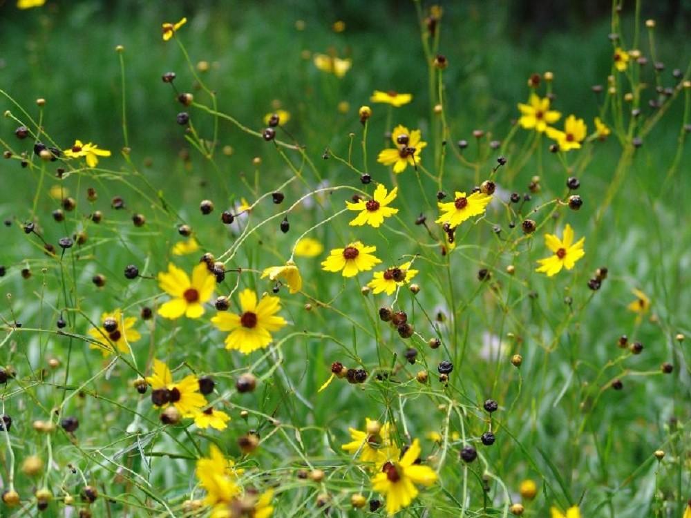 a field of tickseed flowers